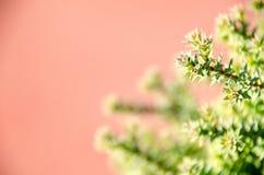 Mały sosna liść Zdjęcia Stock