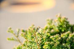 Mały sosna liść Zdjęcia Royalty Free