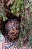Mały sowa portret pod drzewem, pomarańczowi oczy, przyrody zwierzęcej natury fotografia obraz royalty free