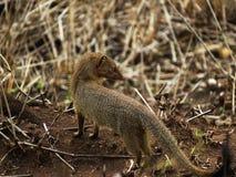 Mały ssak patrzeje daleko od zdjęcia royalty free