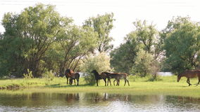 Mały stado koni i źrebiąt pasać zbiory wideo