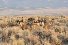 Mały stado muła rogacz przy Wielkim Basenowym parkiem narodowym w piekarzie Nevada obrazy stock