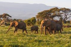 Mały stado słonie Amboseli, Kenja Zdjęcie Royalty Free