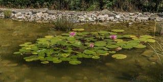 Mały staw z wodną lelują i zieloną trawą obraz stock