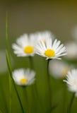 Mały stokrotka kwiat Obrazy Royalty Free