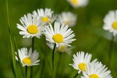Mały stokrotka kwiat Obrazy Stock