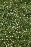 Mały stokrotki pole z odgórnym kątem Fotografia Stock