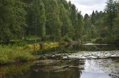 Mały strumień z grążelami otaczającymi brzozy Zdjęcie Stock