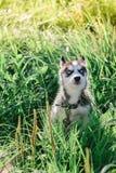 Mały szczeniak bawić się na trawie siberian husky Obraz Royalty Free