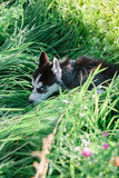 Mały szczeniak bawić się na trawie siberian husky Zdjęcie Stock