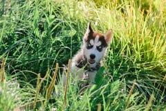 Mały szczeniak bawić się na trawie siberian husky Zdjęcia Stock