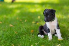 Mały szczeniak bawić się w trawie outdoors i ma zabawę Zdjęcia Stock