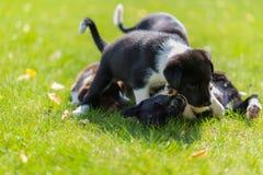 Mały szczeniak bawić się w trawie outdoors i ma zabawę Zdjęcie Stock