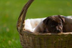 Mały szczeniak bawić się w trawie outdoors i ma zabawę Obrazy Stock