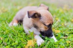 Mały szczeniak kłama w trawie z jego twarzą zakopującą zdjęcia royalty free