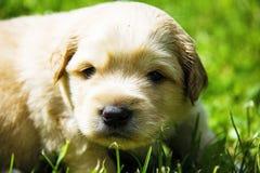 Mały szczeniak w trawy wiośnie Fotografia Royalty Free