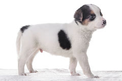 Mały szczeniaka crossbreed Fotografia Royalty Free