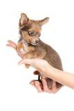 Mały szczeniaka obsiadanie na ręce chihuahu Obrazy Stock