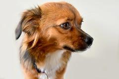 Mały szczeniaka pies z dużymi zdumiewającymi oczami zdjęcie royalty free