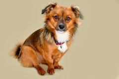 Mały szczeniaka pies z dużymi zdumiewającymi oczami zdjęcia stock