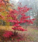 Mały szkarłatny acer w jesieni colour Fotografia Royalty Free
