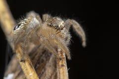 Mały thyene Imperialis pająk pozuje na gałąź zdjęcie stock