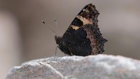 Mały tortoiseshell motyl, Aglais urticae, karmienie, latanie i odpoczywać, na skale i na umbellifer kwiat głowie, Scotland, Czerw zbiory