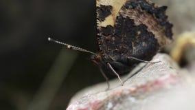 Mały tortoiseshell motyl, Aglais urticae, karmienie, latanie i odpoczywać, na skale i na umbellifer kwiat głowie, Scotland, Czerw zbiory wideo