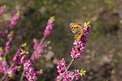 Mały Tortoiseshell motyl odpoczywa na Daphne mezereum roślinie Zdjęcie Royalty Free