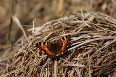Mały tortoiseshell - Piękny motyli zbliżenie Obrazy Stock