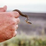 Mały trawa wąż Obrazy Royalty Free