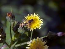 Mały unosi się komarnicy odpoczywa na żółtym dandelion makro- Zdjęcie Stock