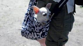 Mały uroczy pies w zmroku - błękitna torba podróżnik, słoneczny dzień klamerka Mały bielu pies w podróży torbie Pojęcie zbiory wideo