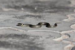 Mały węża czołganie na brukowych cegiełkach obraz royalty free