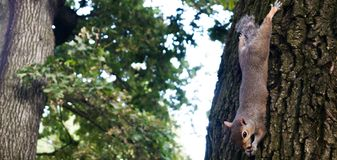Mały wiewiórczy bawić się w parku zdjęcia stock