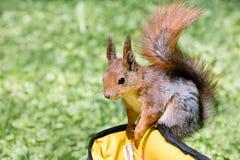 Mały wiewiórczy gmeranie dla jedzenia w torbie na zielonej trawy backgro zdjęcia stock