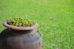 Mały winograd rośliien przyrost w flowerpot lub gliniany garnek w ogródzie Zdjęcie Royalty Free