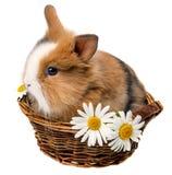 Mały wiosna królik w koszu Obrazy Royalty Free