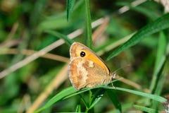 Mały Wrzosowiskowy motyl Zdjęcia Royalty Free