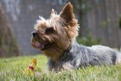 Mały Yorkshire psi kłaść na trawie patrzeje w odległości, skrzypliwa zabawka, szczegół Fotografia Royalty Free
