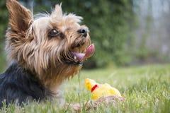 Mały Yorkshire psi kłaść na trawie z zabawką patrzeje w odległości, szczegółu strzał Obrazy Royalty Free