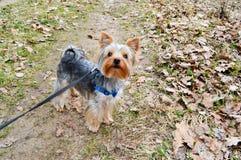 Mały Yorkshire teriera pies na spaceru stojakach na smyczu na drodze z suchą spadać jesienią obraz stock