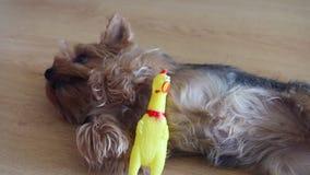 Mały yorshire czekanie na wskazówce łapać skrzypliwą kurczak zabawkę zdjęcie wideo