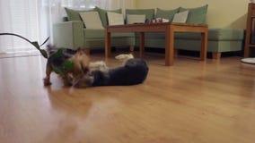 Mały yorshire i trakenu psi walczący eatch inny zdjęcie wideo