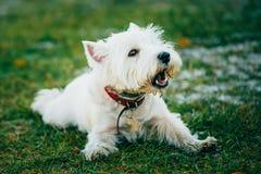 Mały Zachodni średniogórze Biały Terrier, Westie -, Westy Obrazy Royalty Free