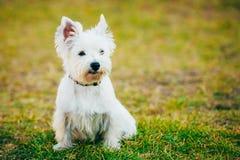 Mały Zachodni średniogórze Biały Terrier, Westie -, Westy Obraz Royalty Free
