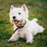 Mały Zachodni średniogórze Biały Terrier, Westie -, Westy pies Obraz Royalty Free