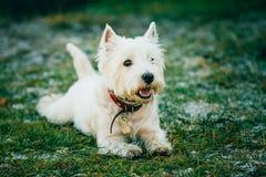 Mały Zachodni średniogórze Biały Terrier, Westie -, Westy pies Zdjęcia Royalty Free