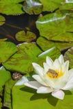 Mały zielonej żaby obsiadanie na wodnej lelui Zdjęcie Royalty Free