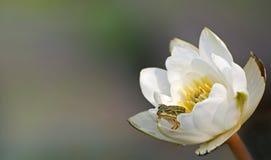 Mały Zielonej żaby obsiadanie w kwiat wodnej lelui białych wodnych lelujach obraz royalty free